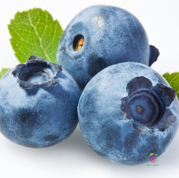 Cây việt quất giống (Blueberry)