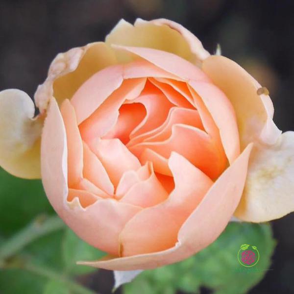 Hoa hồng bụi Evelyn Rose