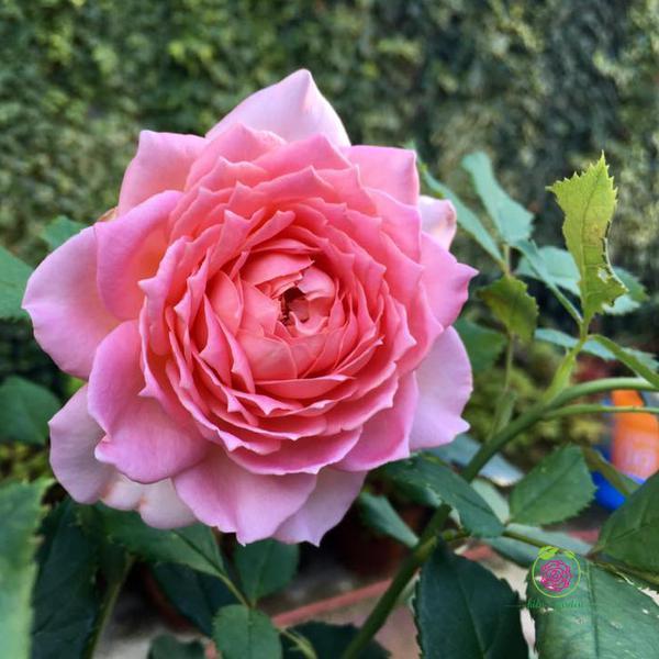 Hoa Hồng bụi Julibee Celebration rose