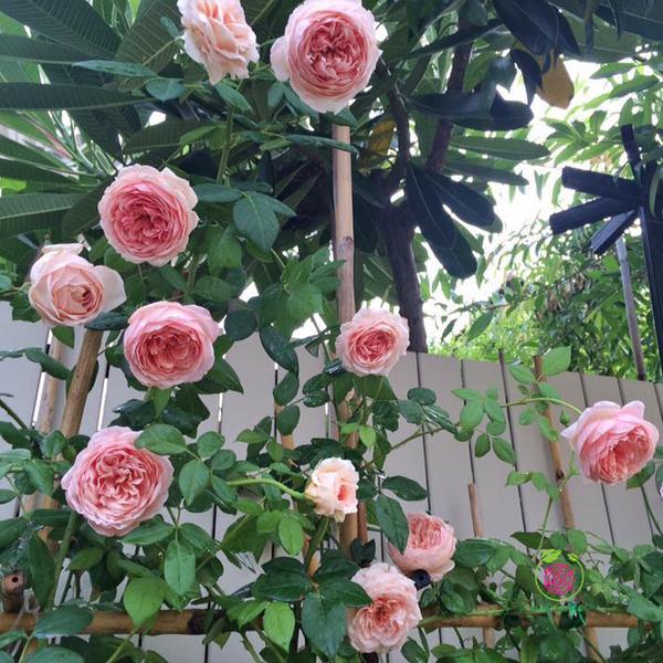 Hoa hồng leo – bụi Abraham Darby rose