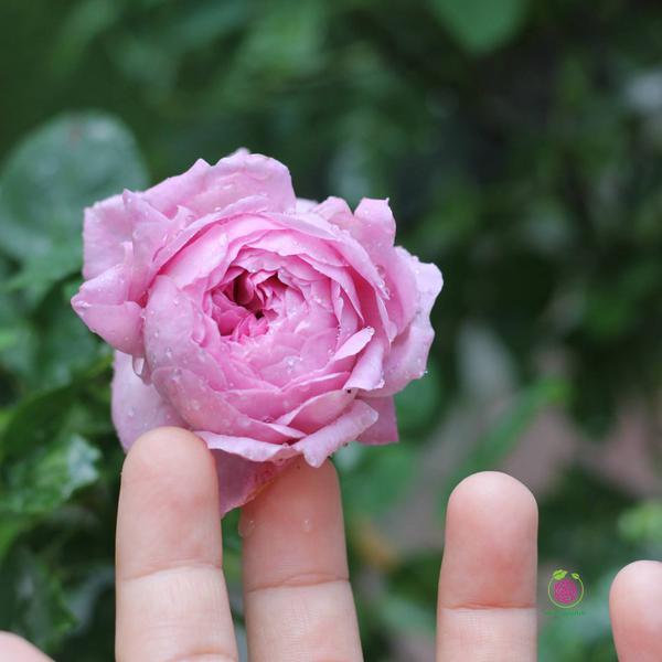 Hoa hồng leo – bụi Charles Rennie Mackintosh