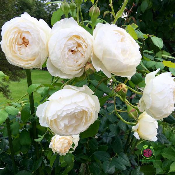 Hoa hồng leo Clair Austin Rose
