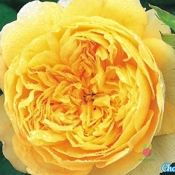 Hoa hồng leo charles darwin