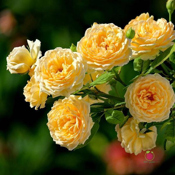 Hoa hồng leo Crown Princess Margareta rose