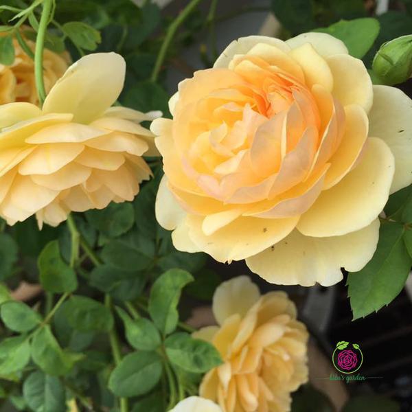 Hoa hồng leo Graham Thomas rose