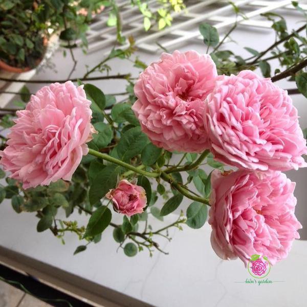 Hoa hồng leo Heritage Rose