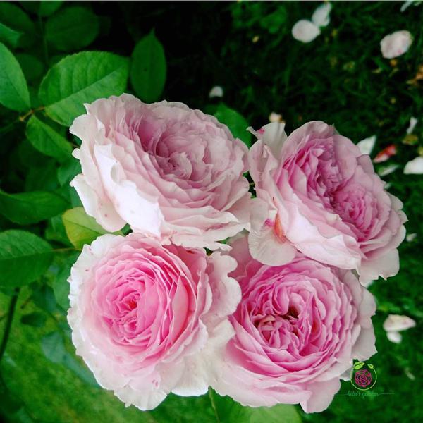 Hoa hồng leo James Galway rose