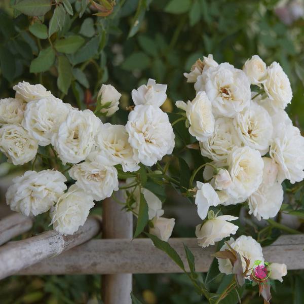 Hoa hồng leo Prosperity