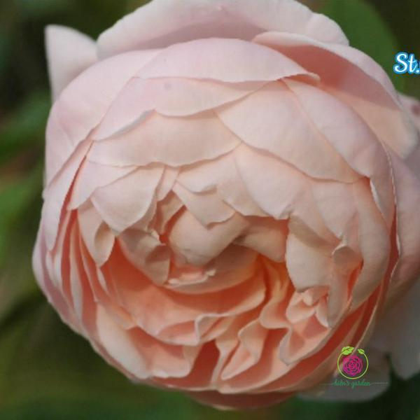 Hoa hồng leo st.cecilia