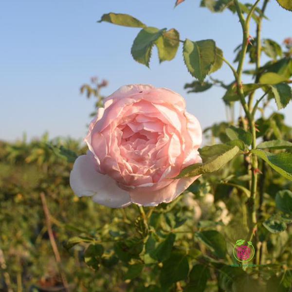 Hoa hồng leo St.Swithun rose - thích hợp làm vòm cổng