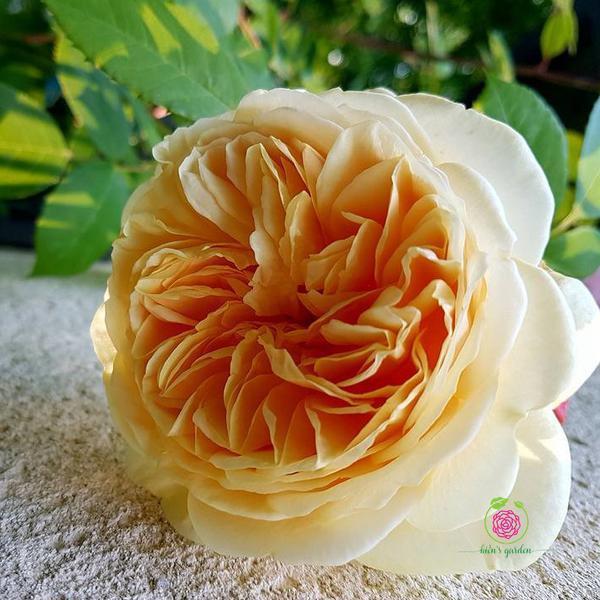 Hoa hồng leo Teasing Gorgea rose