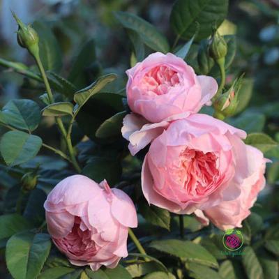 Hoa hồng leo The alnwick rose