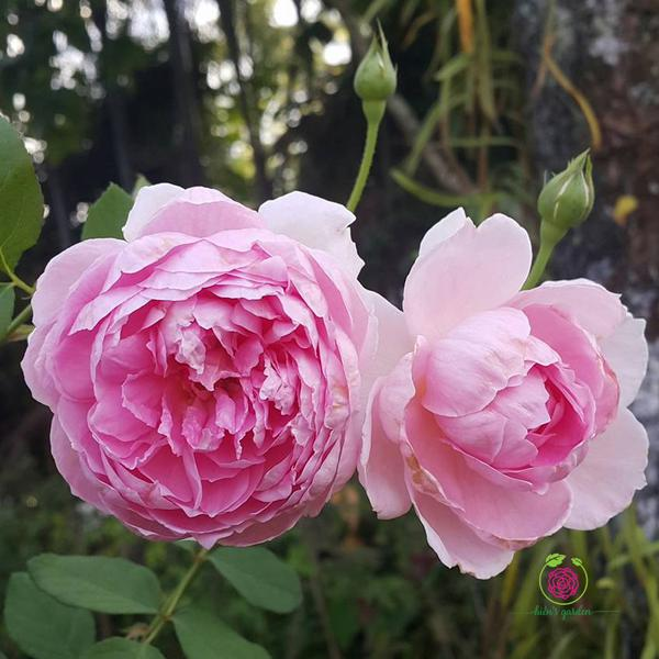 Hoa hồng leo The Ingenious Mr. Fairchild rose