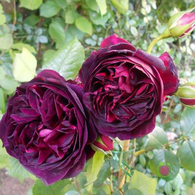 Hoa hồng leo The Prince rose