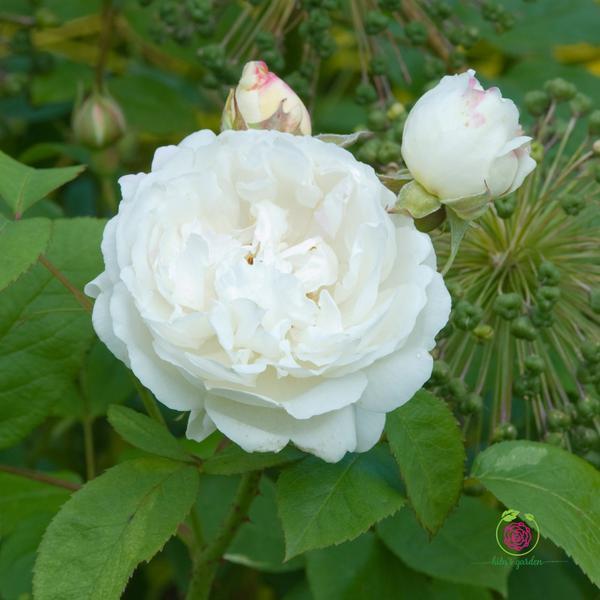 Hoa hồng leo Winchester Cathedral