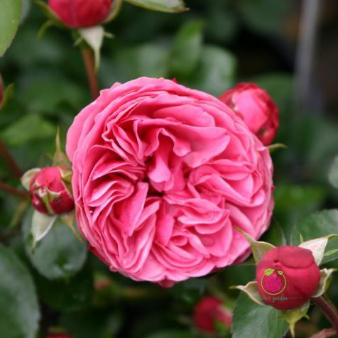 Hoa hồng Leonardo Da Vinci rose