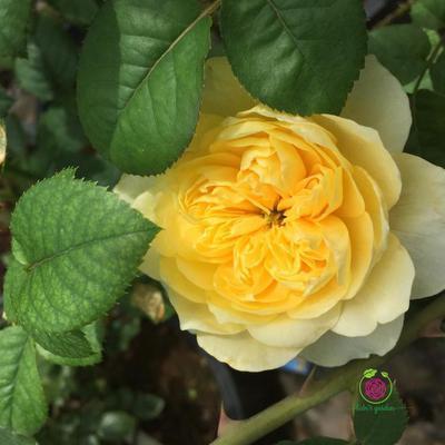 Hoa hồng Molineux rose