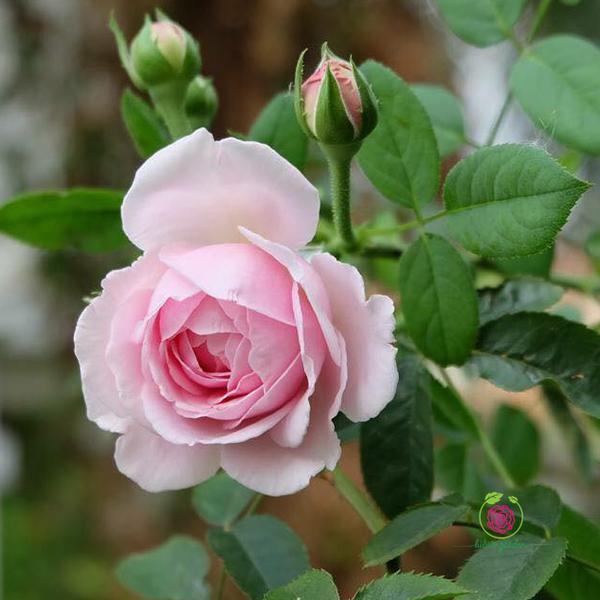 Hoa hồng Spirit of Freedom rose – 120 cánh, hoa ra liên tục và thơm