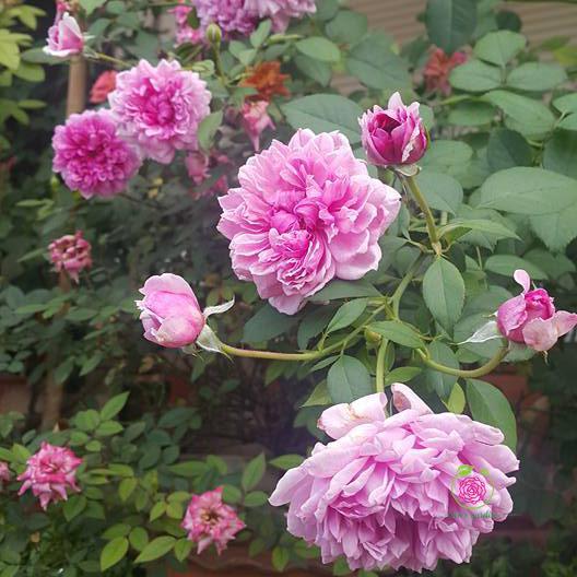 hoa hồng Sister Alizabeth rose