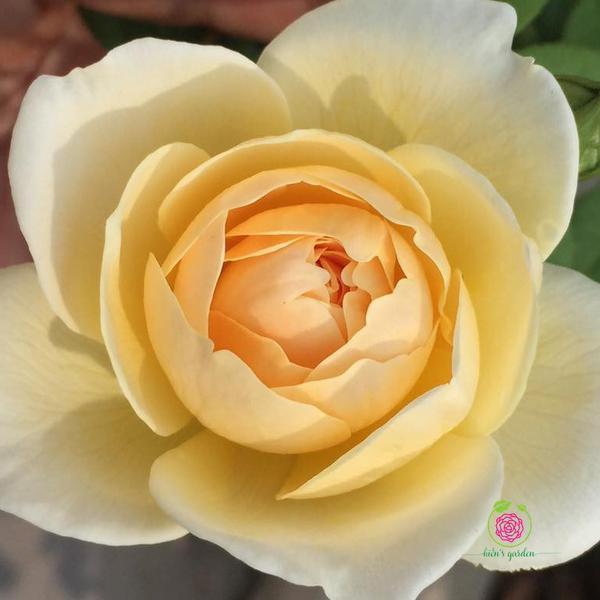 Hoa hồng bụi Charlotte rose