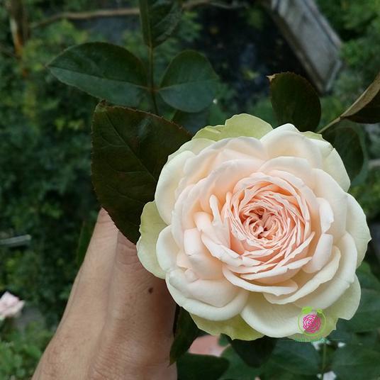 Hoa hồng bụi Charming Piano