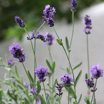 Cây Lavender ( oải hương)