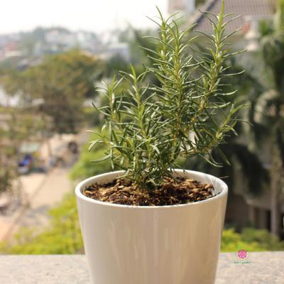 Cây Hương Thảo – Rosemary