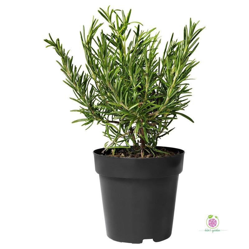 Cây Hương Thảo  -  Rosemary