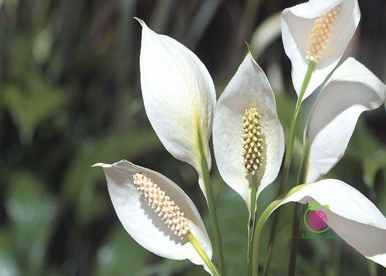 Cây Lan Ý - Peace Lily